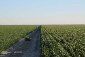 Spelt crop on the left and wheat crop on the right