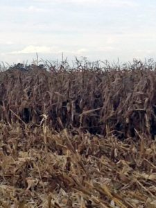 The Maize is now dried out ready to harvest.