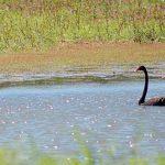 Black swans on the lagoon