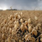 Chickpea pods ready for harvest