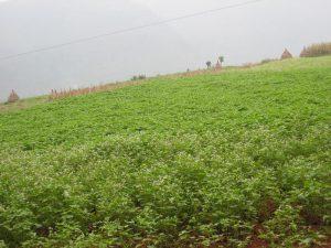 Young buckwheat crop