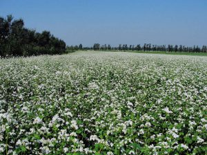 the buckwheat begins to flower indicating harvest is approaching
