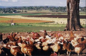 View of cropland with contented chickens ranging in the foreground.