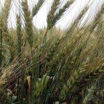 8월에 밀이 익었다. 곡물이 어떻게 형성하는지 똑똑히 볼 수 있다.