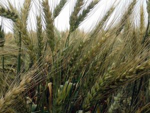 By August the wheat crop has come to head. Here you can see the grains forming