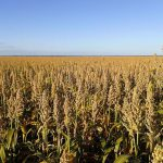 By June Mike's white sorghum is fully grown