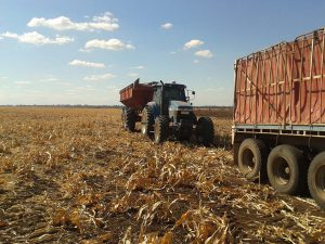 The grain is transferred from chaser bin to the truck that transports it to the mill.