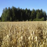 Oats are mature and ready for harvest