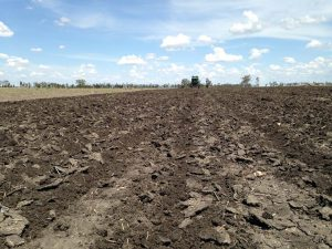 Ploughing and planting the millet