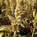White sorghum is ready for harvest