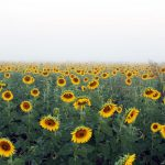Sea of Sunflowers in early morning mist.