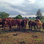 Steve's cattle graze the green manure crops