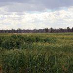 タルボット農場の小麦栽培