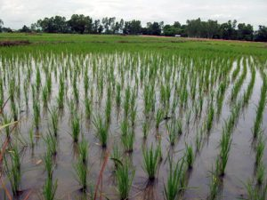 The rice plants begin to grow