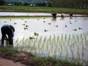 Growers begin planting the seedlings