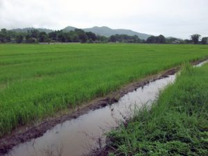 Drainage canals are used to control the amount of water flooding the fields