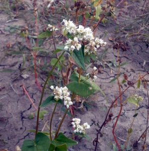 The buckwheat flowering indicates it's ready for harvest