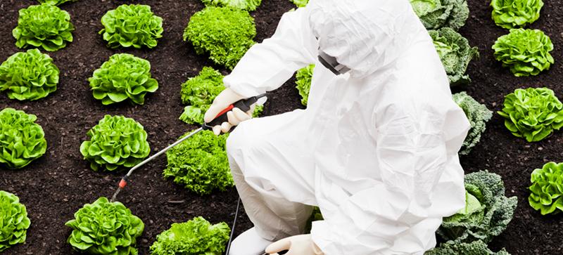 Spraying pesticides on lettuce
