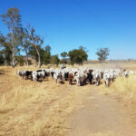 Matt musters the cattle