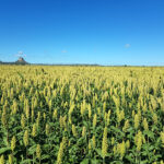 The mature sorghum crop is close to harvest