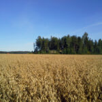 Oats are ready to harvest