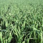 Oats in the field